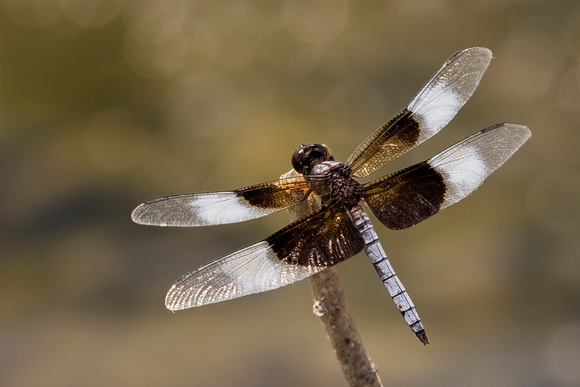 Male Widow Skimmer 2